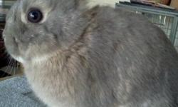 I have pedigree mini Rex and Netherland dwarf bunnies for pet or show. All bunnies are handled daily.