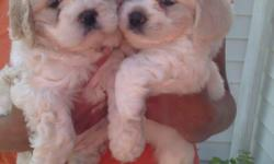 I have 1 female peekapoo puppies ready to go June 18th..they are white with tan markings. They had there first set of shots and been dewormed.Parents on premises dad is a 10 lb toy peekapoo and mom is a 20 lb minature peekapoo. They are low shedding and