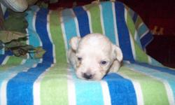 WE HAVE TWO VERY ADORABLE MALE PUPPIES. ONE IS WHITE WITH CREAM COLOR PARTI SPOTS, THE OTHER IS BISCUIT COLOR WITH A WHITE LINE UP HIS FORHEAD. THEIR MOTHER IS MINIATURE POODLE AND DAD IS PEKINGESE. THESE BOYS ARE FOUR WEEKS OLD. PRESPOILED,KID TESTED BY