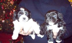 Beautiful soft fluffy puppies will be 6 weeks old and ready to go Dec 23. Healthy, vet ck and wormed. For more info call 843-332-8965 or 843-230-1823