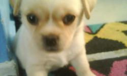 hello i have 4 females pekachi pekingese chiuhauha puppies <3 adorable very playfull very frendly and loving looking for a great home ***6 weeks old*** ***300 rehoming fee if interested pls call at 702 722 7800 thnks god bless 2 white 2 brown 2 fluffy 2