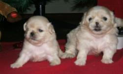 ADORABLE PEKENESE PUPPIES.. BOTH FEMALES. LIGHT BEIGE BLONDE.. BORN NOVEMBER 10, 2012. WILL BE READY TO GO BY CHRISTMAS. (ASSUMING THEY ARE EATING AND DRINKING)_ WORMED @ 2 WKS, WILL NEED TO HAVE FIRST SHOTS. NO PAPERS. DEPOSIT WILL HOLD TIL CHRISTMAS,