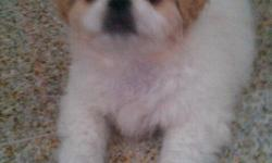 2 Months Old Had First Shots 4 Lbs. White/Light Brown Must See Serious Buyer please Call : 808-388-0051