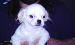 pekingese puppy male has had shots and been wormed raised in doors 561 881 3326