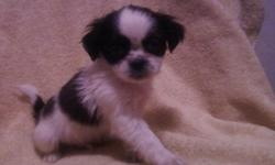 I have 1 Pekingese/Shih Tzu Puppy. I have one boy. He is White with beautiful black markings on his body and face. He is 200.00. For more information on these puppies please give us a call at 478-231-6390. Also, see the pups at www.belllinepups.com
