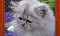 PERSIAN AND HIMALAYAN, CFA registered Sweet and Fluffy kittens, all colors including Chocolates, Lilacs. bi-colors, Solids, Silvers and Calicos. All kittens are raised under foot in a very clean home with a lots of TLC, they are well socialized and have a