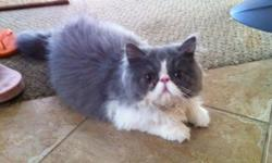 This is an adorable flat faced, 100% Persian Male. 5 months old. He was adopted by a family several months ago and was unfortunately returned to us because their son turned out to be allergic to him so here he is! He is looking for his new forever home.