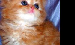 Welcome to Furry Dream Cattery we located Brooklyn, NY. We specialize in producing beautiful, soft, very tender, gentle, sweet loving purebred pedigree kittens and show cats in Persian, Himalayan, Chinchilla Silver and Tabby Persians. We have all color of