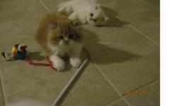10 week old male persian kitten for sale. vet checked, 1st shot given. Parents on premises. Very lovable and energenic!!