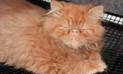 We have one red Male Persian born May28, 2012. He is very loveable and cuddly. We also have two Black male Persians born July 23.2012. Their parents are registered CFA Persians both on site. The kittens have never been in cages and live