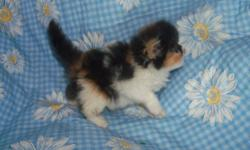 """Persian Kittens for sale: parents are CFA registered and are of either show or pet """"quality."""" Our kittens are family raised in the home and are cuddled daily by kids of all ages. We have a variety of colors and we feed an all-natural"""