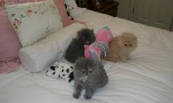 Beautiful Persian Kittens available now. Blue Cream females, Cream male, Cream female, Blue male, Black female, White males and females. Registered with CFA, shots, flat faced, so cute and playful. Little loves, just look at them. Call or email for more