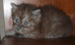 Beautiful Healthy Lovable Kittens raised by our family for your family. Kittens come with lots of TLC, Vet checked (health quarantee) 1st shots, wormed. We have a variety of colors to choose from, including a rare Chocolate smoke female, brown torti, blue