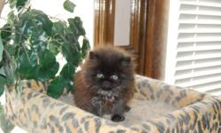 I have beautiful persian kittens looking for a wonderful, loving new home. I raise them cage free. when you come over to look at my kittens KitKat( persian ) will greet you at the front door. My cats and Kittens are very social-able. They are CFA reg.