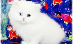 Beautiful Persian kitten 13weeks  old. (female) Puppy personality, so sweet and gets along with other pets. she is cooperative when getting her nails cut. NICE rosettes (spots) updated on all shots, comes with vet records and red toy. Call or