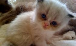 Cute, 8 week old, Doll Face Persian Kittens for sale - Only 2 females left so you better hurry before they are gone! Please call 361-774-7815 to reserve one today