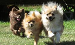 I will watch your pet in my home... or yours..... daily and or overnights.... I have a fenced in back yard with lots of room to play . I have owned pets all my life, from hampsters to horse's. Icurently own a pomeranian. Your pet will be loved and