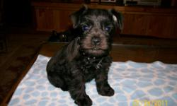 PETITE MINI SCHNAUZERS - 8 weeks old - 3 males - Black and Tan - Tan - Black - Ears/Tails/Dews/Wormed/Shots - Crate Trained - Using Training Pads - Ears are just starting to raise - have had first grooming. Cute as a can be, loveable. Eating Blue Buffalo