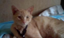 LOST Light orange male cat..2 years old..Sunrise Manor area... was wearing a black harness with red heart tag with his name MONKEY and my number... he is not familiar with the area....he's friendly... has a long tail... he's been missing since