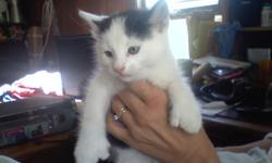 We have a brother and sister pair of9 week old kittens looking for aloving forever home. 1 male, white with black spot and with theextra toes of a Polydactyl, 1 female, white with tabby spots.First two picture are the boy,
