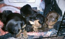 Beautiful Purebred Miniature Pinscher puppies for ?SALE?, Born December 19th, 2010. Puppies will be available to go home with you on February 6th! Just in time for your Valentine! @-}}-- Mother and Father both on site. Mother is papered, father is not but