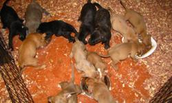 I have two litters of puppies that need to find a good home. The puppies are 9 weeks old. They have been wormed and have been given their first shots. I have mother and father of both litters on site. The price is $100.00. Their colors are brindle, blue