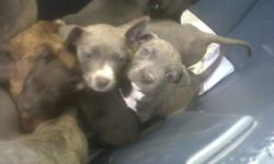 pit bull puppies for sale, 7 week old. They have their first shot and dewormed. The puppies are all different colors.