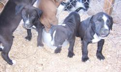Gorgeous blue eyed puppies born Nov 26. Black, tan and brown coats. No papers, mom and dad on site. Have their first shots. Home raised. Call, text or e/mail Patrick at 561-355-2760.