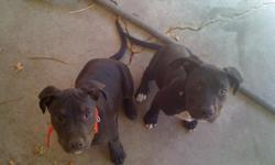 I have one female and one male pit bull puppies, they are all black with white on their chests, they are very cute and very large, they are 3 1/2 months old and have their first shots. Hurry though so you can get your pick because we are keeping one of