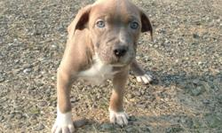 Full blooded pit bull pups born 5-24-11. Now ready to go to new homes. Males and females currently available. Call 814-398-4198 or 814-397-6404 (leave message). Erie, PA area.