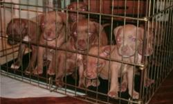 5 wk old Rednose pups (10) born May 29. Will be ready to go to a loving home July 24! All dogs and pups are born and raised with children. Also good with other pets. All pups will go home papered, with their 1st set of shots, dewclaws removed, and