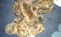 I have nine puppies. Five females and four males. six weeks old. I own the mother and the father. They are on site