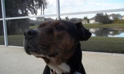 Found Pit Bull mix on 12/03/12 on Morris Bridge Rd. Black, white, brown, brindle. Black canvas collar. Call --