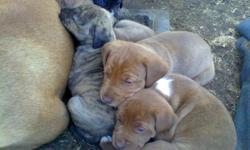 Four females and one male. three red with white markings one fawn brindle female and a blk anad white feamle thae male is red and white.