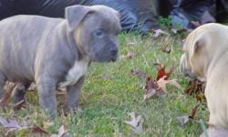 Yes, they are ready-razor edge pups/bullies! Roadblock vs Paco- the best of both worlds. The pups came out real nice, a very consistent litter. We have two pups avaible a blue brindle female and a black brindle male.Call or text DEE 804-246-9947. Pups