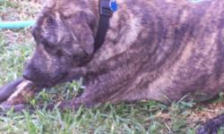 Zoe is a 14 month, 75 lbs, brindle color, female pitbull/lab mix. She is a wonderful, sweet and skittish dog with a wonderful disposition. I've had her since she was 4 mths old and she came from an abusive background. She is good with people, other big