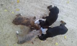 5 female puppies...3 blacks and 2 brendals....trying to get them homes asap and they are 3 months. they eat soft dog food and they're outside puppies.....if interested please contact me at ()- and my name is felicia.