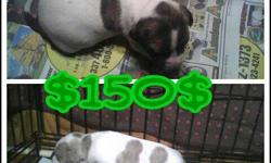 PITBULL PUPPIES FOR SALE 4 (3 MALES 1 FEMALE) MALE #1 IS WHITE W/ BLUE BRINDLE SPOTS AND MALE #2 IS BRINDLE W/ WHITE FEET AND CHEST MALE #3 IS BRINDLE W/ WHITE CHEST AND WHITE PAWS FEMALE IS WHITE W/ BRINDLE PATCHES THEY R WORMED AND READY TO GO !!!!!