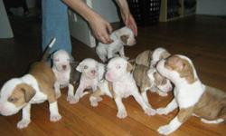 red nose pitbull puppies 4 sale ready in mid october girls 350 boys 300 good with kids and toddlers