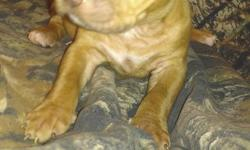 Full blood pitbull puppies for sale, parents on premises, ready to go, contact for more photos