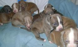 PITBULL PUPPIES FOR SALE 1 BOY AND 4 GIRLS LEFT. MOTHER BLUE PIT AND FATHER RED NOSE PIT ALL AMERICAN PITBULLS. MOTHER AND FATHER ON PREMISES. BROWN & TAN/WHITE LEFT BORN 12-18-10 WILL BE SIX WEEKS AND READY ON 1-29-11
