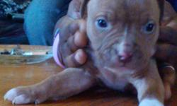 FIVE pitbull puppies for sale! 3 females and 2 males. Born on 10/9/10. Puppies will be available to pick up next week. Only willing to sell to buyers will pick up puppies themselves. Will not ship. None have their shots but if requested, I can get their