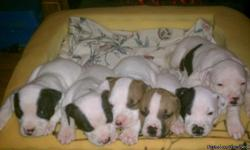 Pitbull puppies for sale. They are 5weeks old. They are very cute & playful. They are good with children & other pets. They are rednose pitbull puppies that are white with brown patches or white with black patches. Very nice markings. If interested please