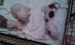 We have four males and three females! One of the females is solid white. We're asking 500 for papered, 300 for non papered. They have been wormed, and all had their first shots. You can contact us any time.