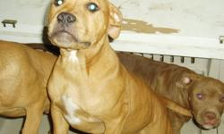 Male Pit Bull Puppy - 4 Months Old - Born Aug 24 2010 - Mother is Rednose Pitbull & Father is Blue Nose Pitbull - Call 720-365-6931 -