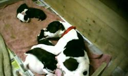 Family raised,3M,3F,Healthy pups,Have blue razors edge blood, Will have 1st shot, wormed, parents on site, Will be ready 3/8/11. Come pick early. Taking deposits. Call #561-686-4246. or E-mail pwright1964@centurylink.net