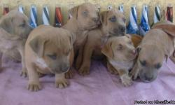 UKC Purple Ribbon,registered Pitbull Puppies $300 dollars re-homing fee Located in La Puente,CA. 4 males, Puppies are show quality. 75% Razors Edge and 25% Ganghis Kon. The puppie grandparents are Castro Bull 23 a.k.a Toro Kimbo dad from UKC's most