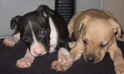 We have two males left. They have Jeep, Red-boy, Joco, Buck, Rufus blood line. they have had they first shots plus dewormed.They are ready to go to a good home and become a loyal friend.Please call JB or Kenya @ -- or @ --.