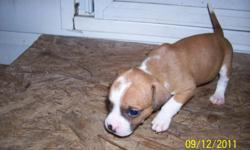 7 male pitt bull puppies born on 8/14/11. will be ready to go on 9/23/11 1st shots and dewormed for more info call jeremy bearden (803)245-2746