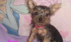 This little girl Yorkshire Terrier is Vet checked, 2nd shots given, dewormed and health guaranteed. 11 weeks old and tiny, she should reach maybe 4-5 lbs. when grown. I have many references if needed for you to purchase a puppy with confidence. Shipping